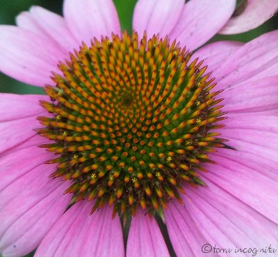 pink coneflower center
