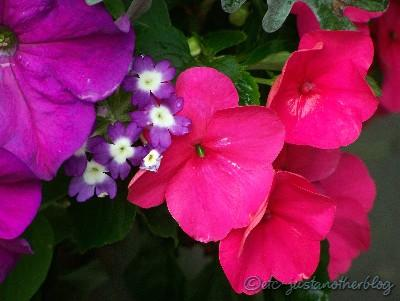 purple petunias, verbena, and hot pink impatiens