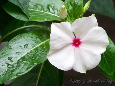 white vinca flower