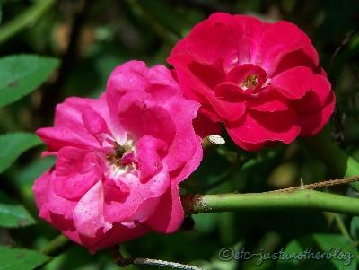 red and pink roses bloom