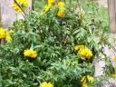 marigold plants after spider mites