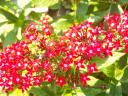 red penta flowers