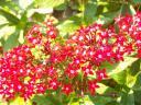 red penta flowers