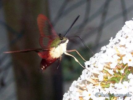 hummingbird moth at butterfly bush