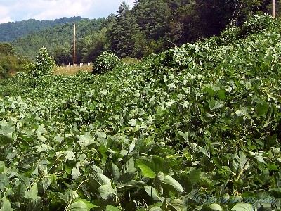 kudzu covering the roadside