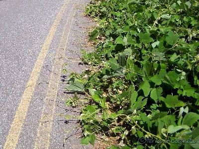 kudzu covering half a road