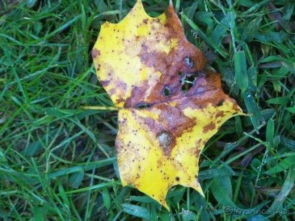 poplar leaf on the grass
