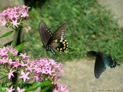 two swallowtails at the pink penta flowers