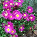 asters in bloom