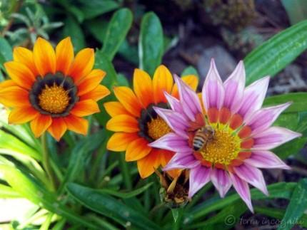 gazania and honeybee