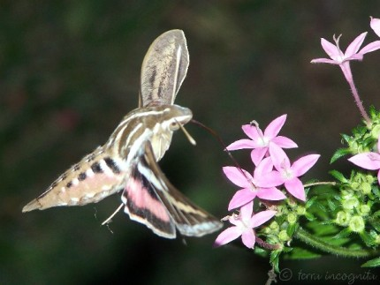 pink and striped hummingbird moth