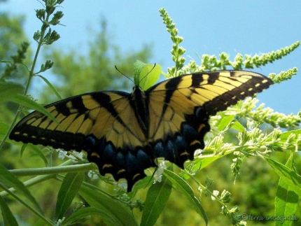 tiger swallowtail on a white butterfly bush