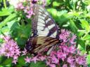 tiger swallowtail on pink penta flowers