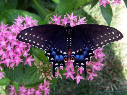 black swallowtail on pink penta flowers