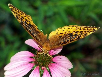 orange Fritilllary butterfly on a pink coneflower