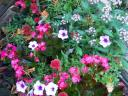 mixed annuals and miniature roses in bloom
