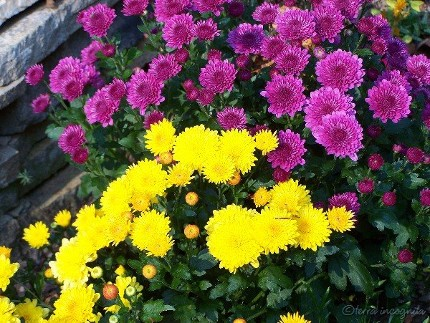 yellow and purple mums in bloom