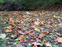 fallen poplar leaves