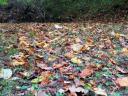 fallen poplar leaves