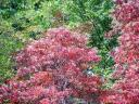 native sourwood trees, bloom and fall color