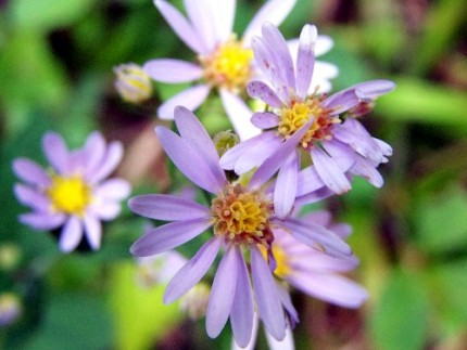 wild asters in bloom, these are everywhere