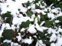 snow on the ivy