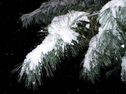snow on pine trees