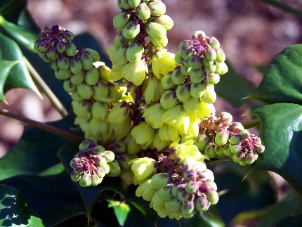 flowers of oregon-grape, photo taken yesterday