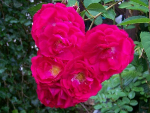 heart-shaped cluster of roses