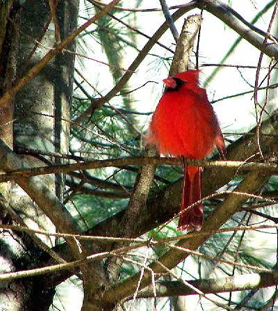 cardinal in a white pine tree