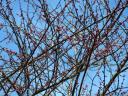 flowering plum tree buds