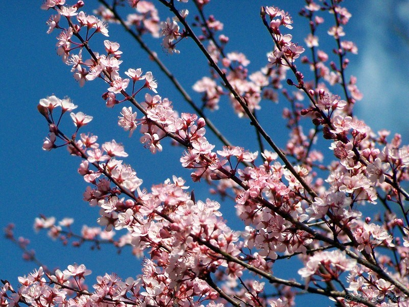 Image result for blooming plum tree