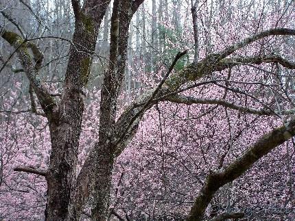 dogwood and plum tree