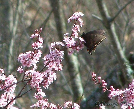 butterfly and plum tree