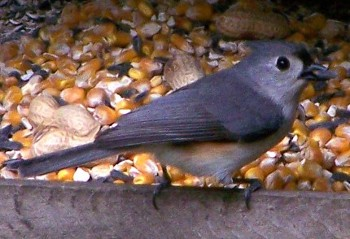 tufted titmouse at the squirrel feeder