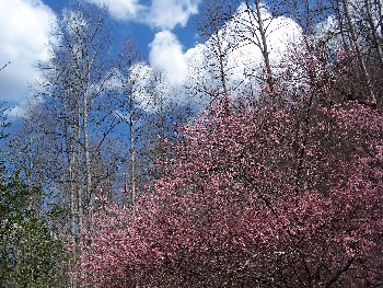 plum tree and clouds