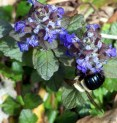 bumble bee on ajuga
