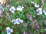 white and lavendar violets