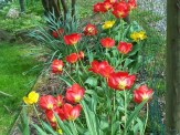 red and yellow tulips turning towards the sun