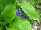 hostas and purple ajuga in bloom