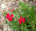 red dianthus in bloom