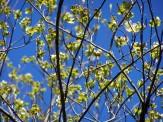 dogwood flowers and buds