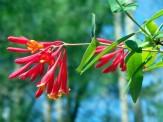 red and orange honeysuckle vine