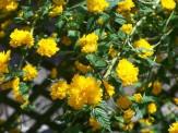 kerria blooms