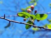 crabapple tree buds