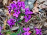 purple phlox wildflower