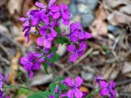 purple phlox wildflower