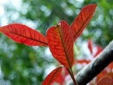 redtip photinia new growth
