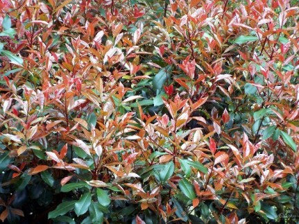 Image result for red tip bushes