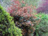 redtip and other shrubs